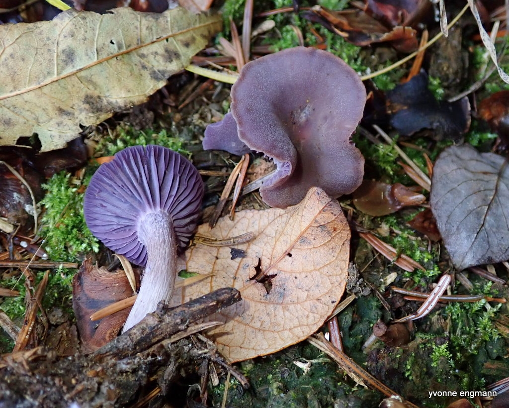 Violet Ametysthat (Laccaria amethystina)