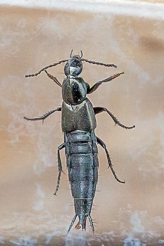 Foto/billede af Philonthus cognatus (Philonthus cognatus)