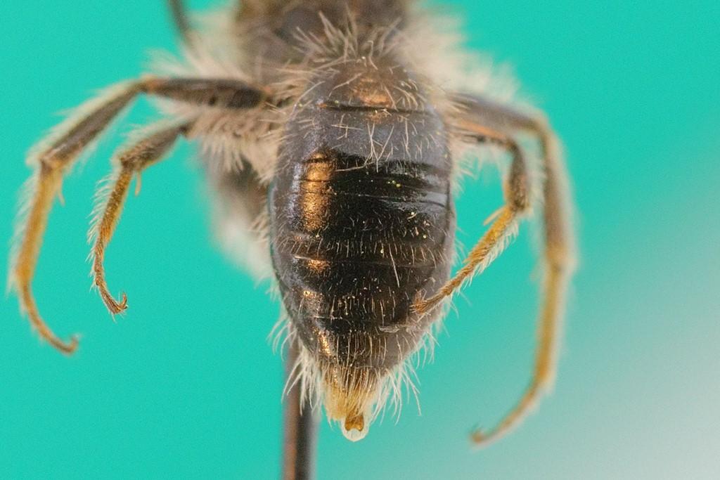 Forårsjordbi (Andrena praecox)
