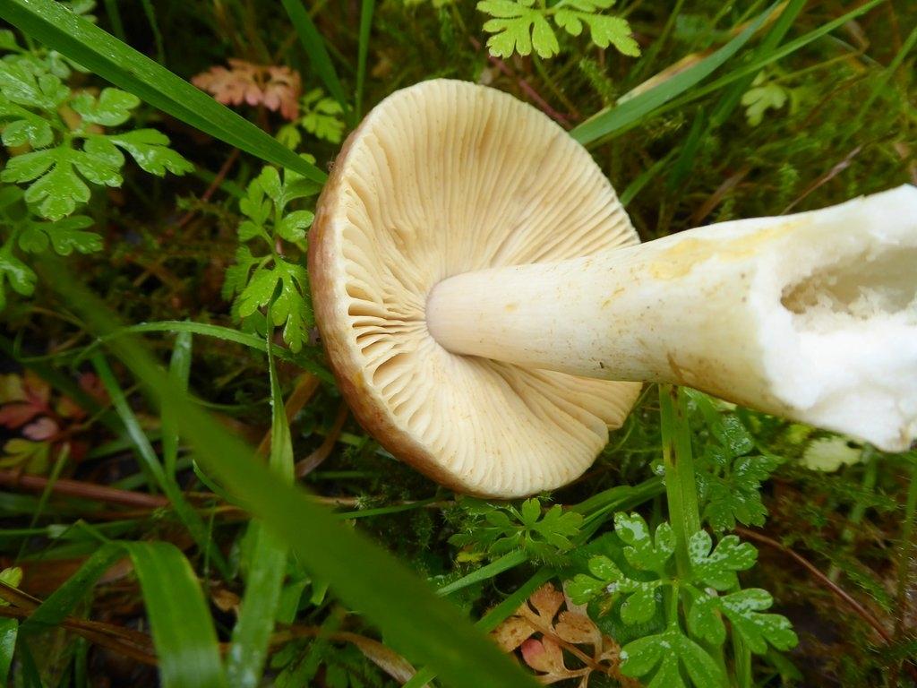 Foto/billede af Bøge-Skørhat (Russula faginea)