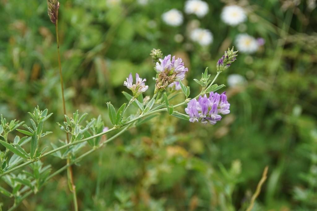 Foder-Lucerne (Medicago sativa ssp. sativa)