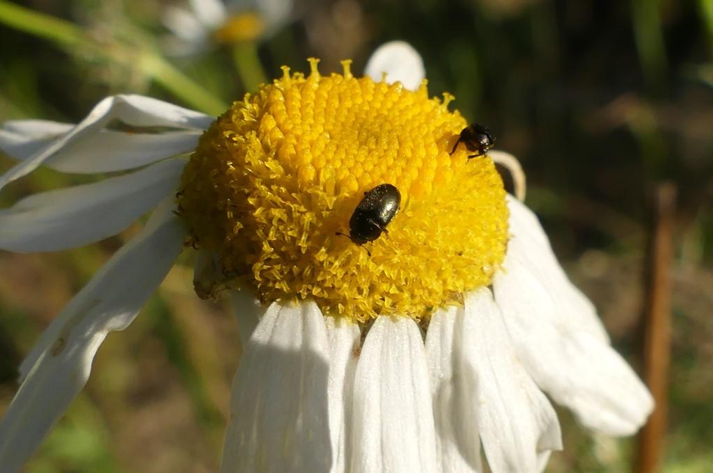 Foto/billede af Glimmerbøsse (Meligethes aeneus)