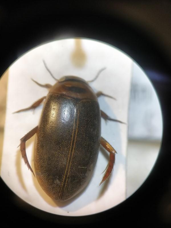 Rhantus notaticollis (Rhantus notaticollis)
