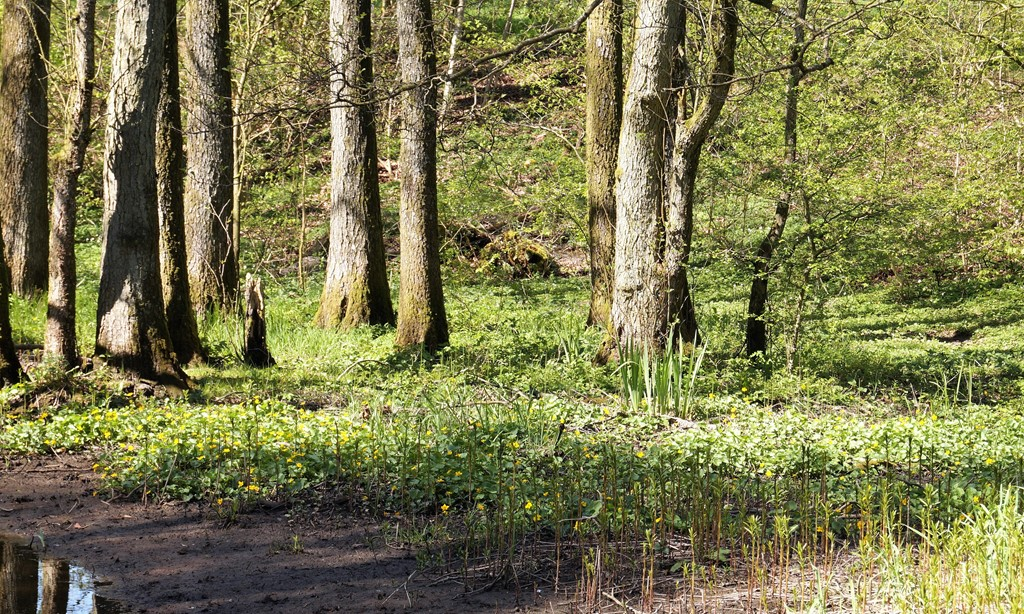 Foto/billede af Krybende kabbeleje (Caltha palustris ssp. radicans)