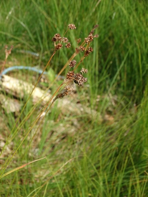 Foto/billede af Mangeblomstret Frytle (Luzula multiflora)