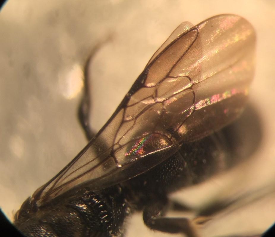 Foto/billede af Lille Saksebi (Chelostoma campanularum)