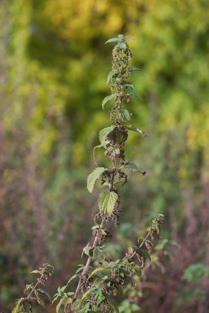 Stor Nælde (Urtica dioica)