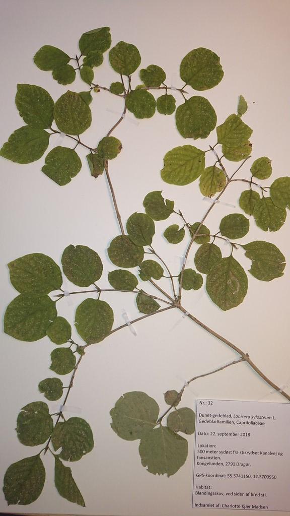 Foto/billede af Dunet Gedeblad (Lonicera xylosteum)