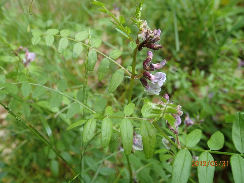 Foto/billede af Gærde-Vikke (Vicia sepium)