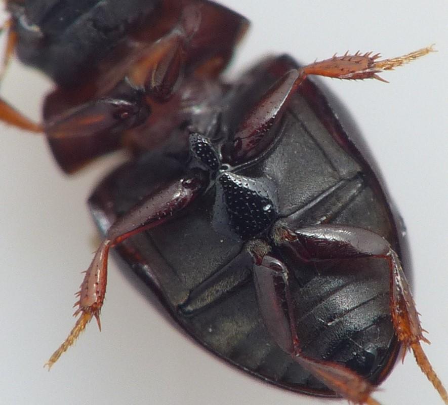 Cercyon convexiusculus (Cercyon convexiusculus)