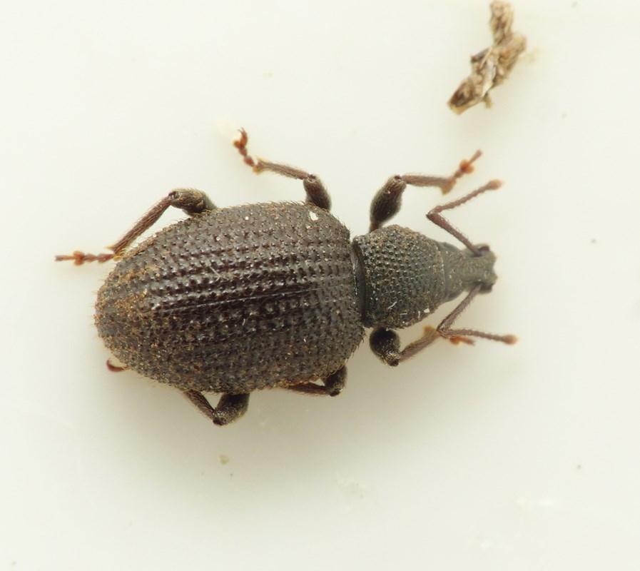 Otiorhynchus rugosostriatus (Otiorhynchus rugosostriatus)