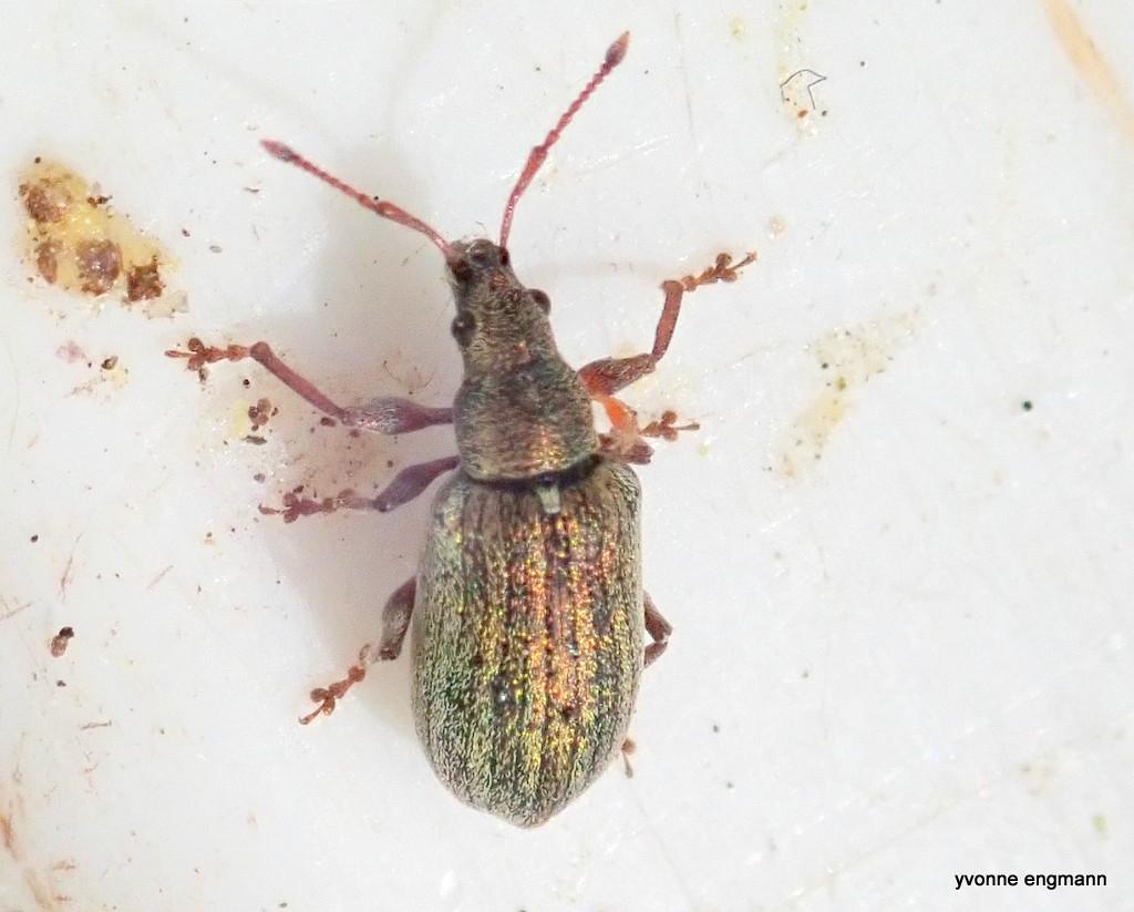 Polydrusus sp.