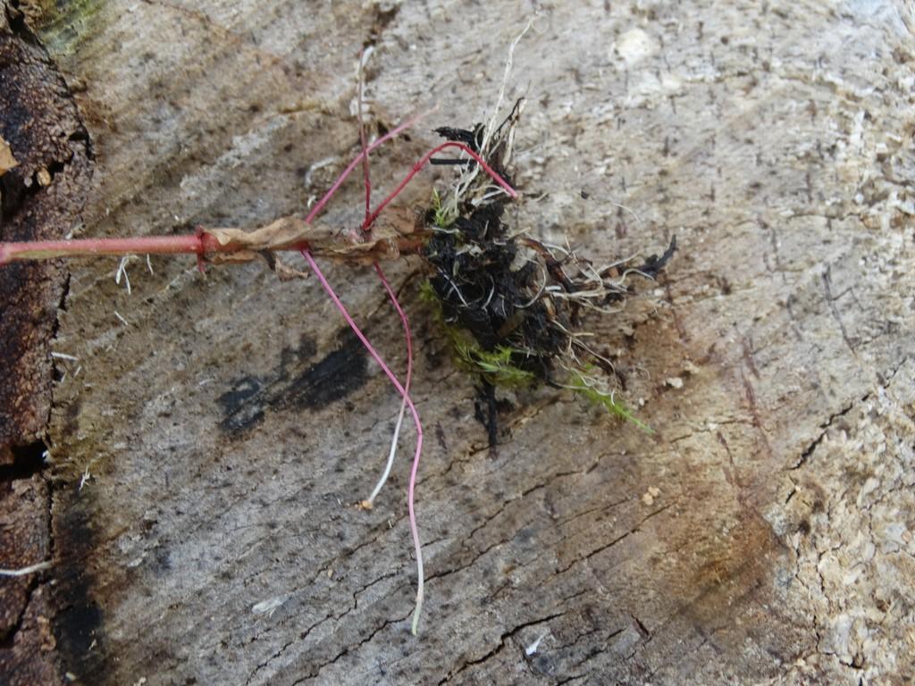Foto/billede af Kær-Dueurt (Epilobium palustre)