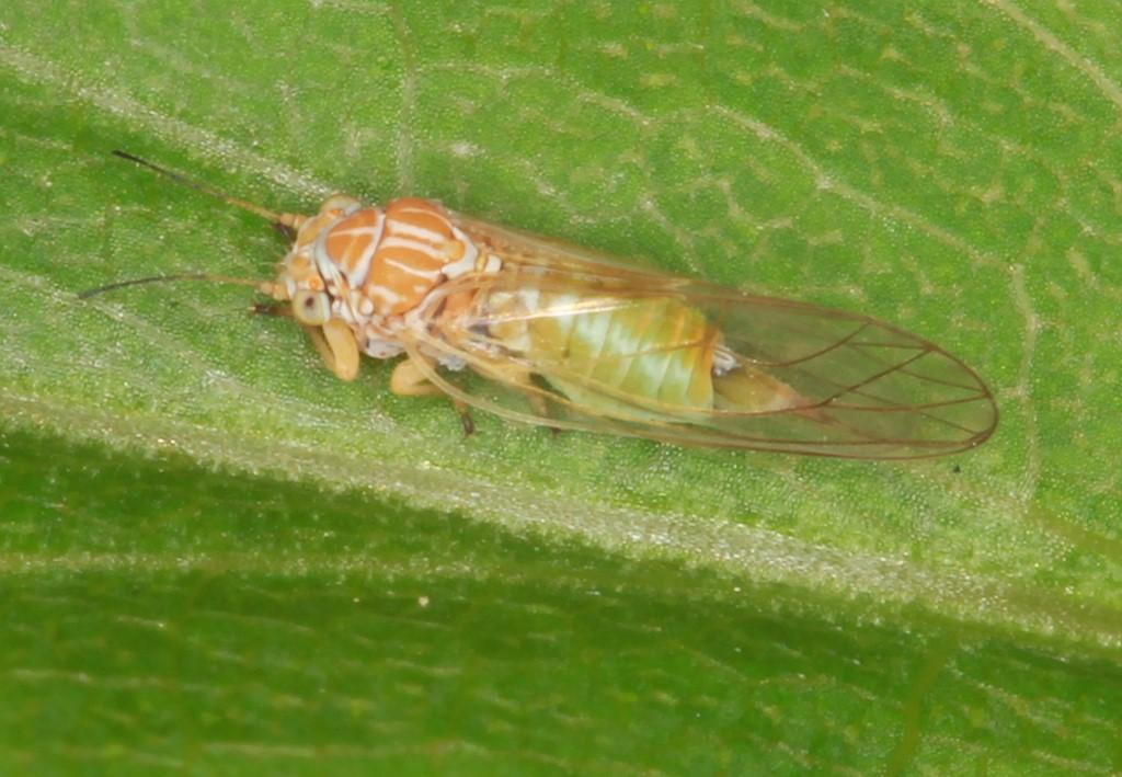 Foto/billede af Brun Tjørnebladloppe (Cacopsylla melanoneura)