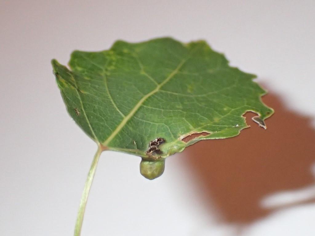 Harmandiola cavernosa (Harmandiola cavernosa)