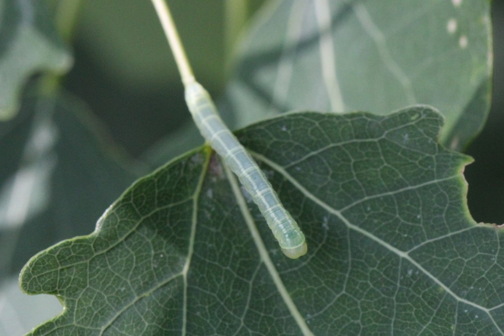 Foto/billede af Poppel-Lapvinge (Lobophora halterata)