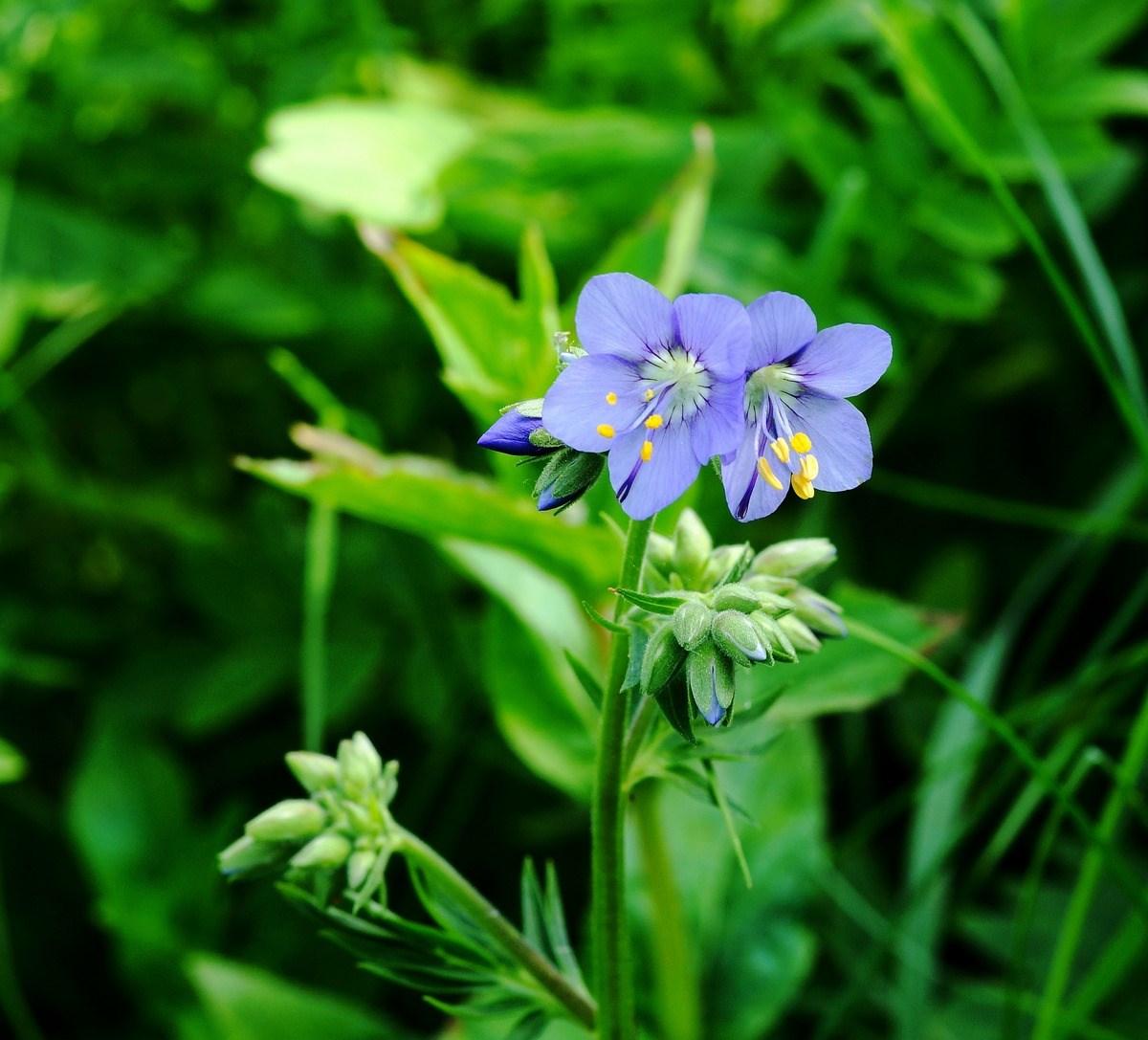 Foto/billede af Jakobsstige (Polemonium caeruleum)