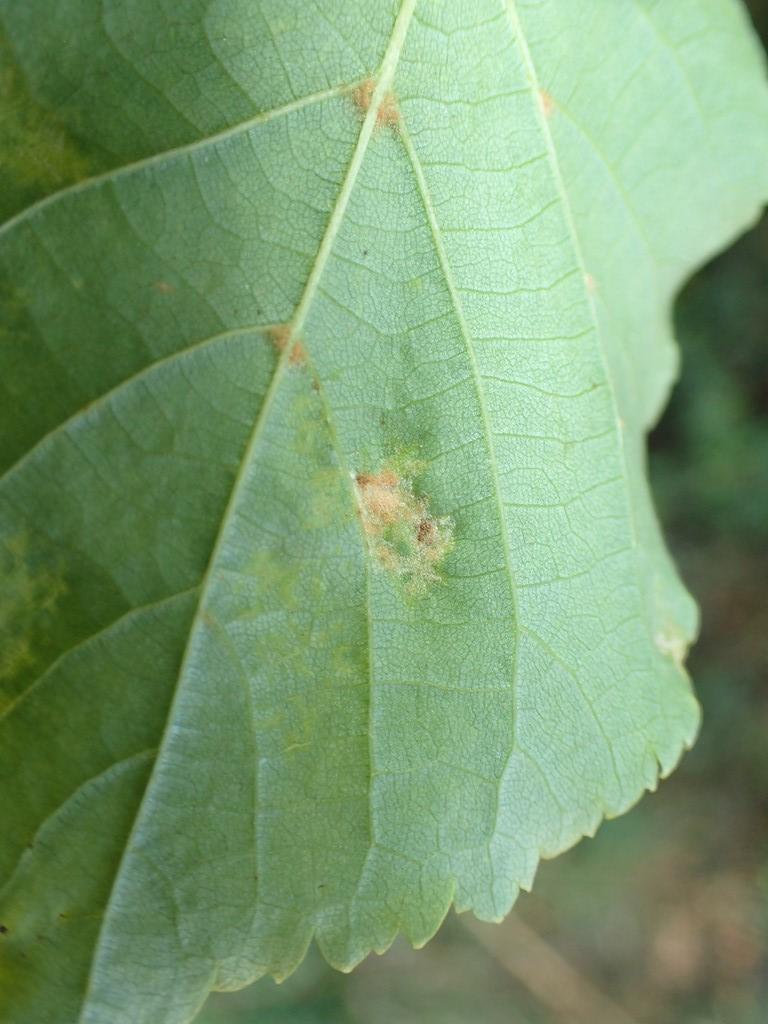 Linderustgalmide (Eriophyes leiosoma)