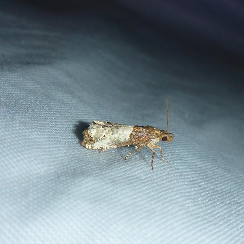 Foto/billede af Grå Rosenvikler (Notocelia roborana)