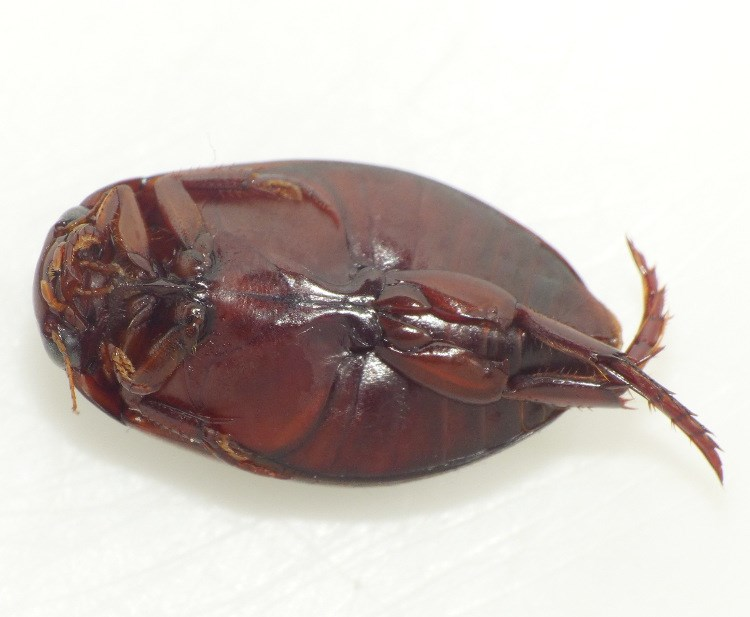 Ilybius fenestratus