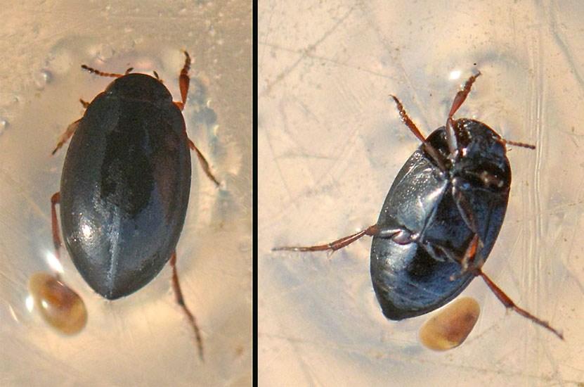 Hydroporus nigrita (Hydroporus nigrita)