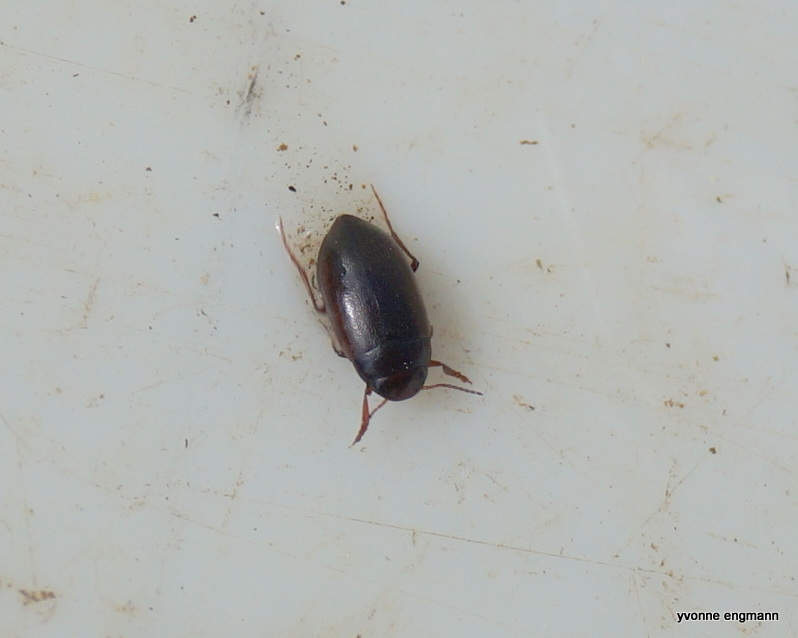 Hydroporus gyllenhalii (Hydroporus gyllenhalii)