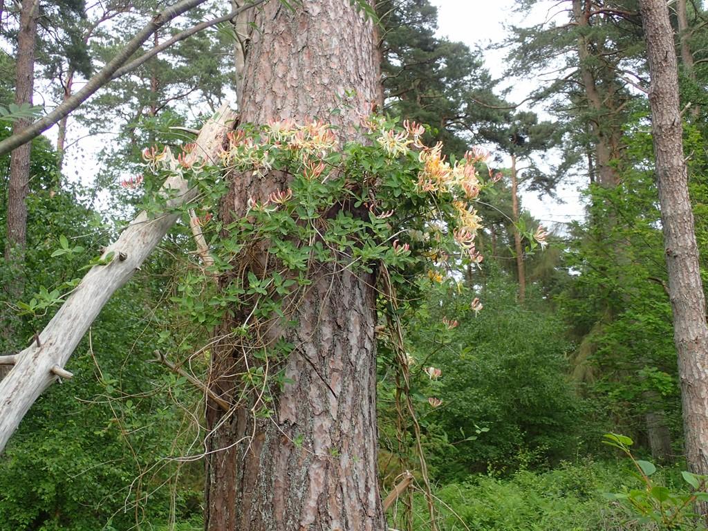 Almindelig Gedeblad (Lonicera periclymenum)