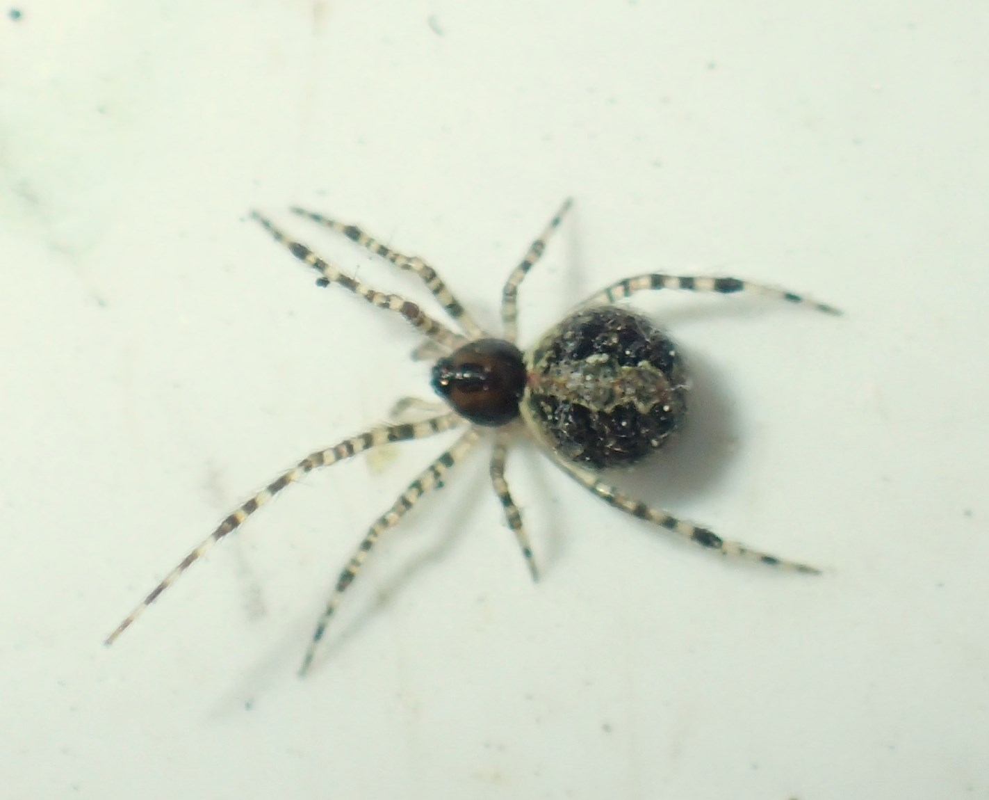 Theridion mystaceum