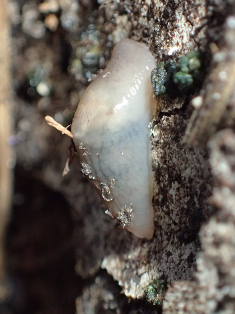 Foto/billede af Net-Agersnegl (Deroceras reticulatum)