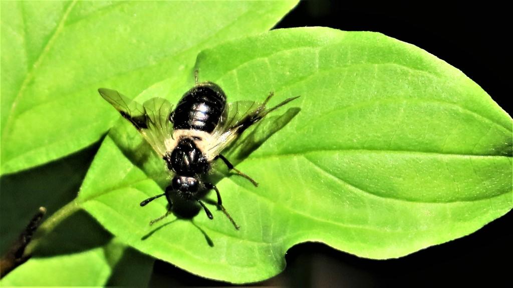 Foto/billede af Abia fasciata (Abia fasciata)