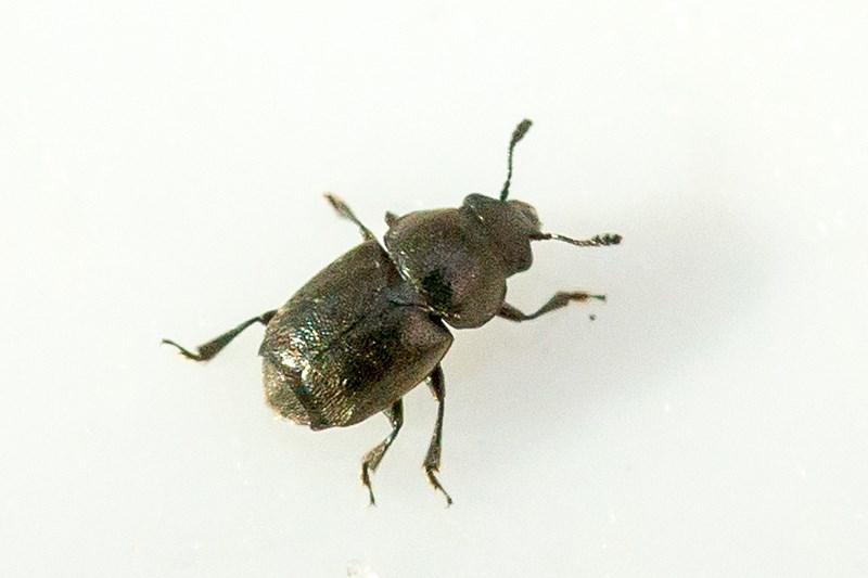Foto/billede af Brachypterus glaber (Brachypterus glaber)