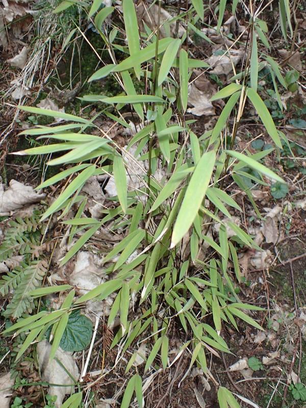 Gul Bambus (Fargesia murielae)