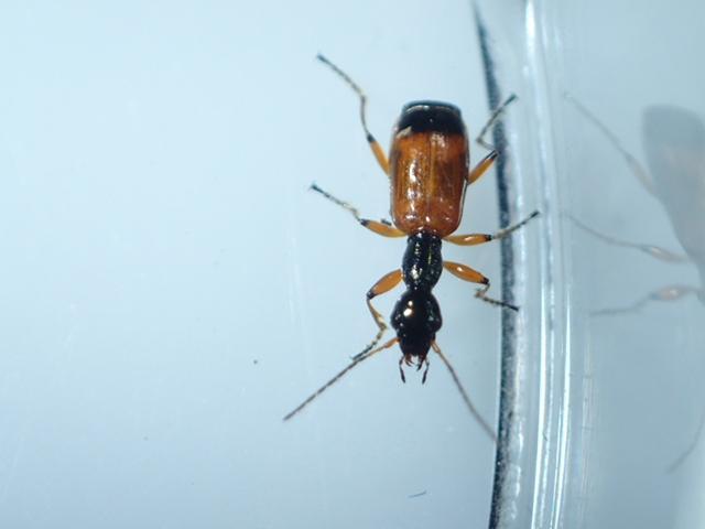 Foto/billede af Rødløber (Odacantha melanura)