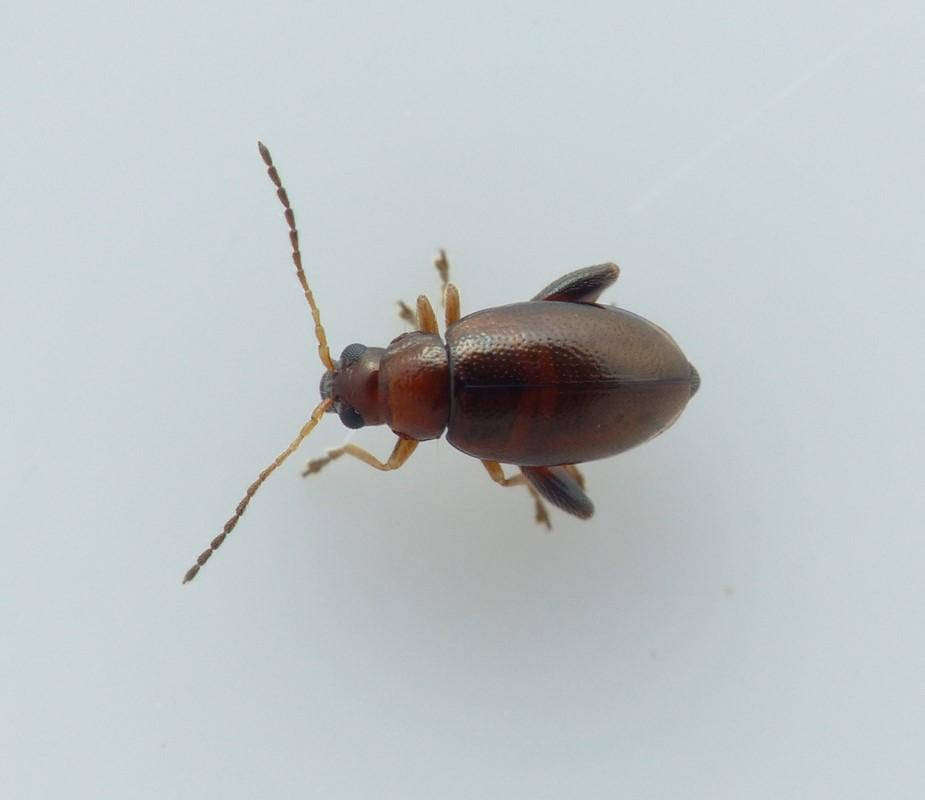 Longitarsus luridus (Longitarsus luridus)