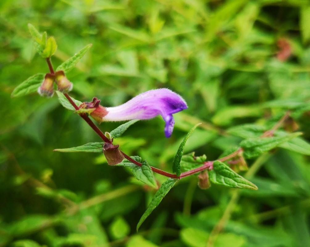 Foto/billede af Almindelig Skjolddrager (Scutellaria galericulata)