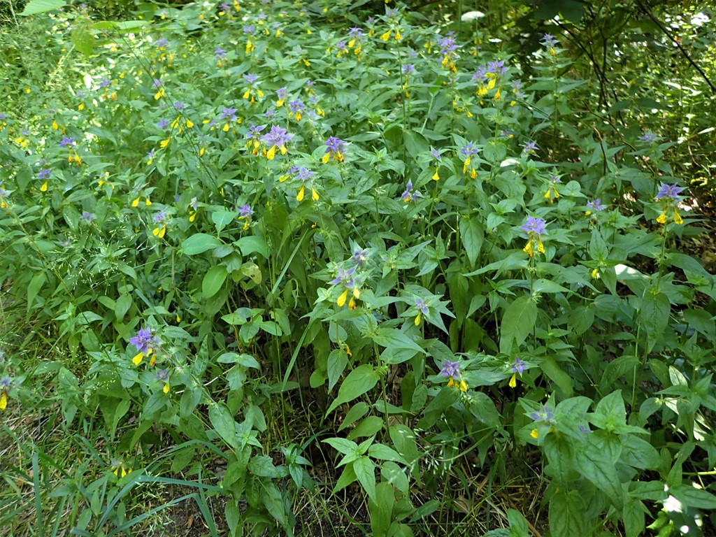 Blåtoppet Kohvede (Melampyrum nemorosum)