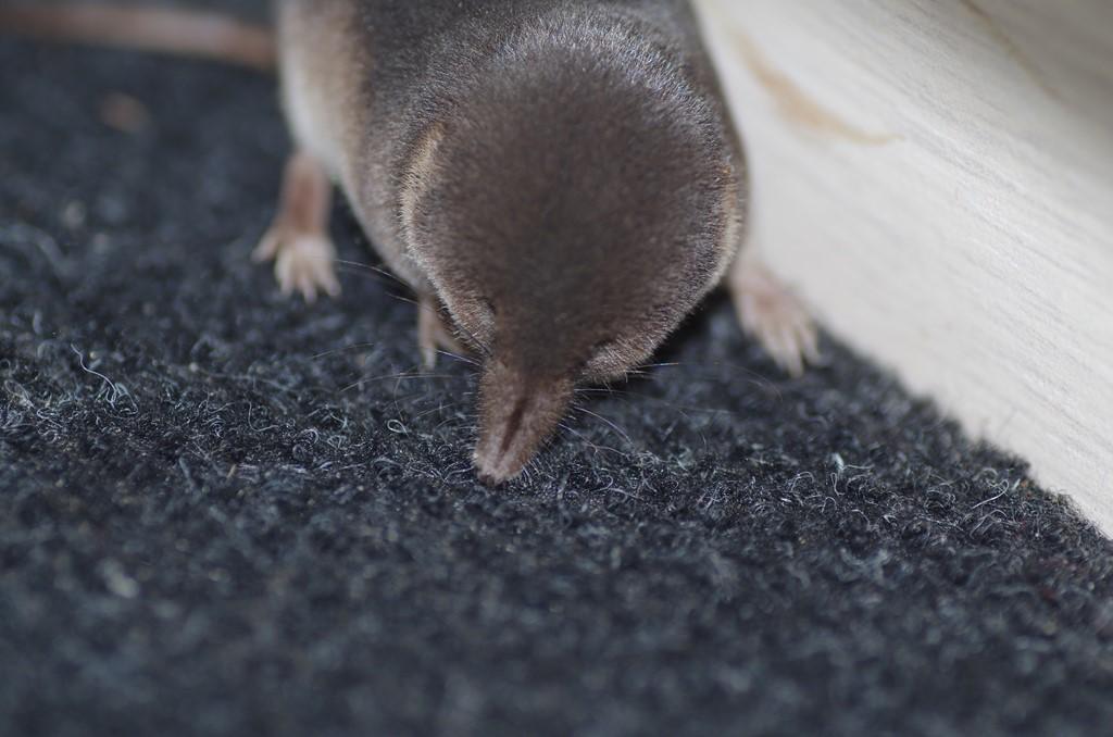 Foto/billede af Almindelig Spidsmus (Sorex araneus)