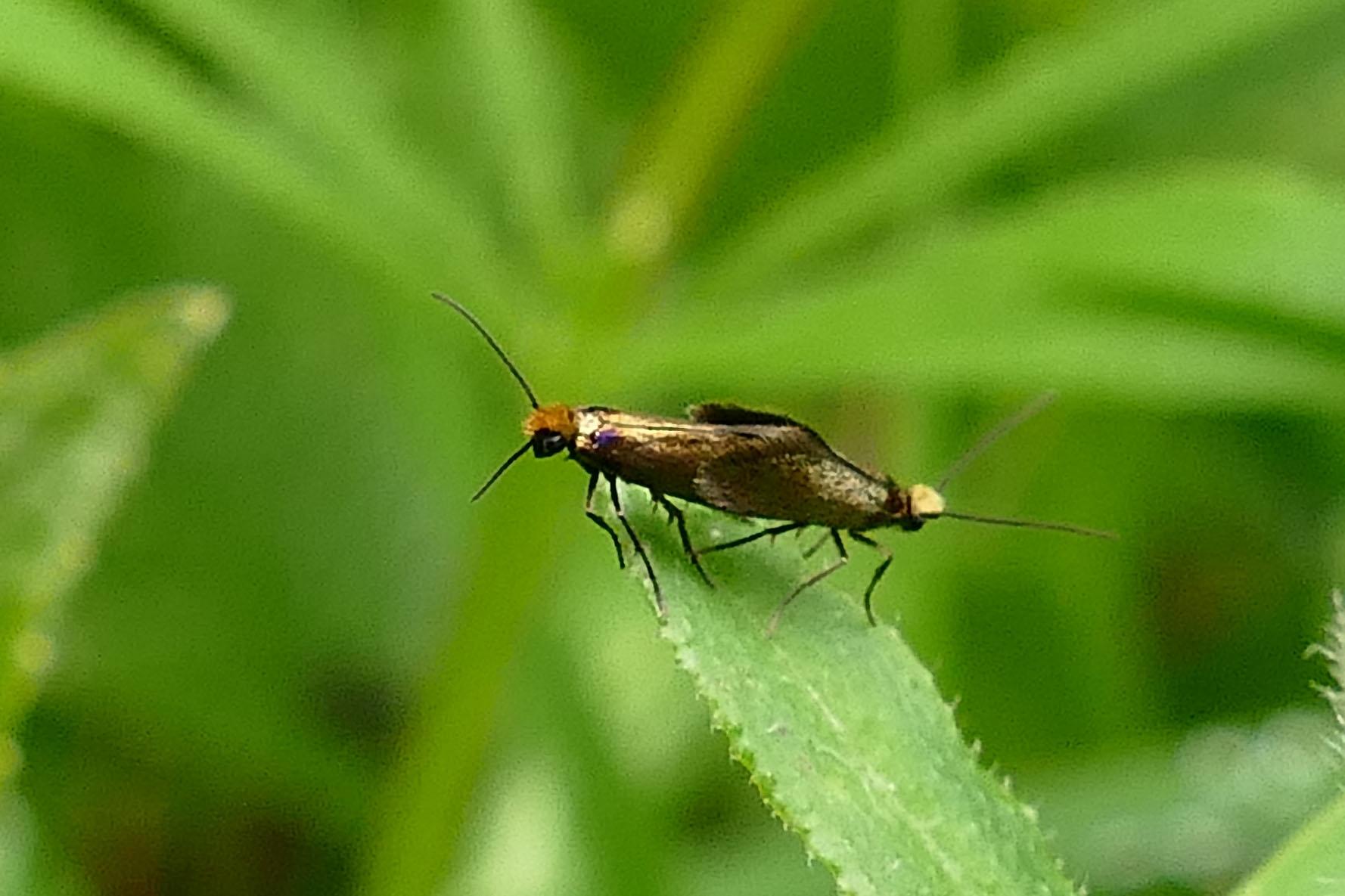Foto/billede af Kærursommerfugl (Micropterix calthella)