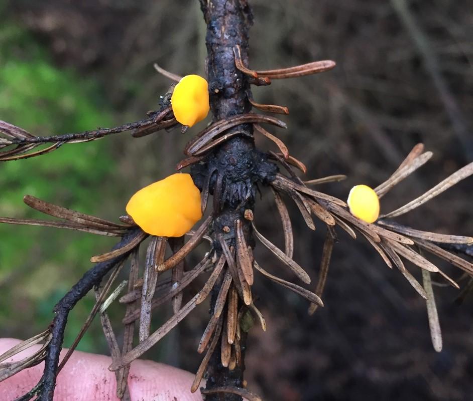Foto/billede af Stor Dukatbæger (Pithya vulgaris)