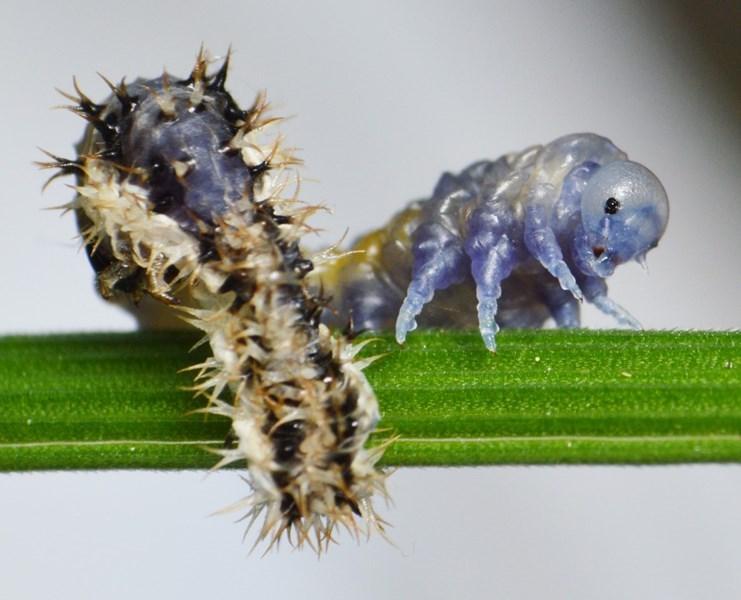 Eupareophora exarmata