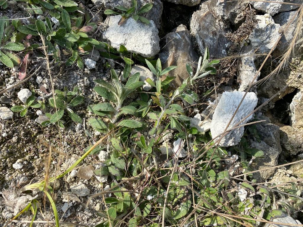 Håret Høgeurt (Pilosella officinarum)
