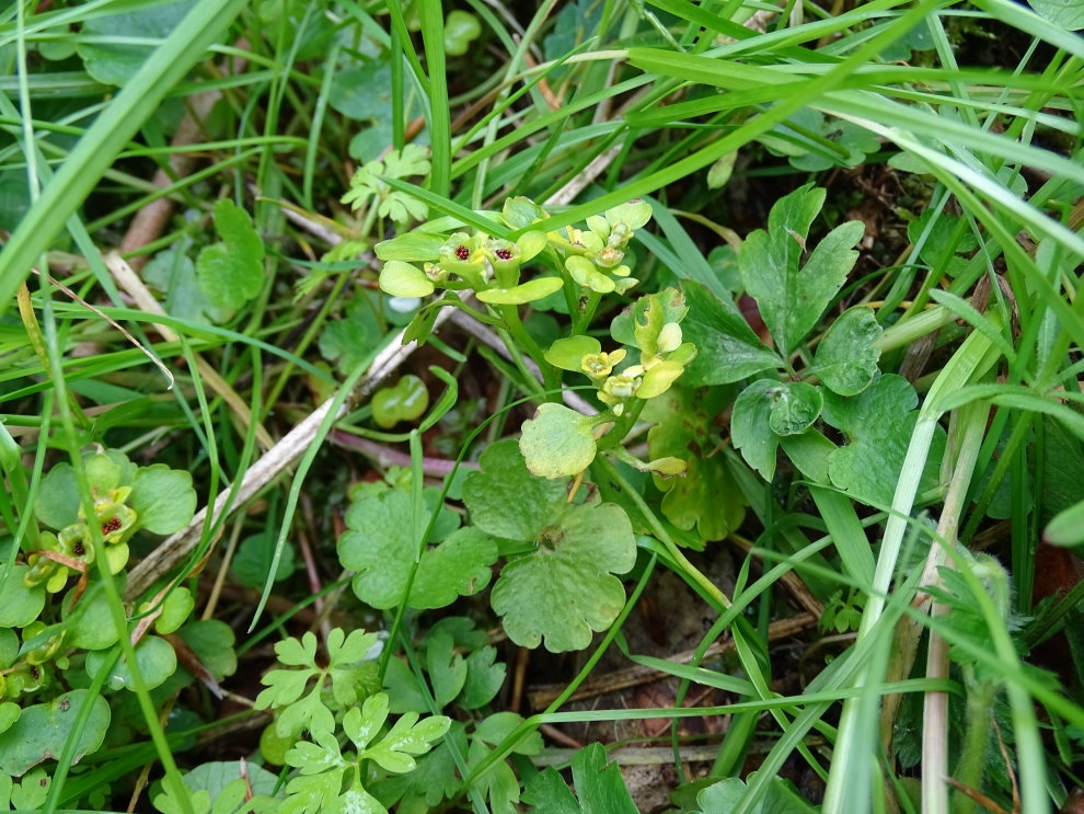 Almindelig Milturt (Chrysosplenium alternifolium)