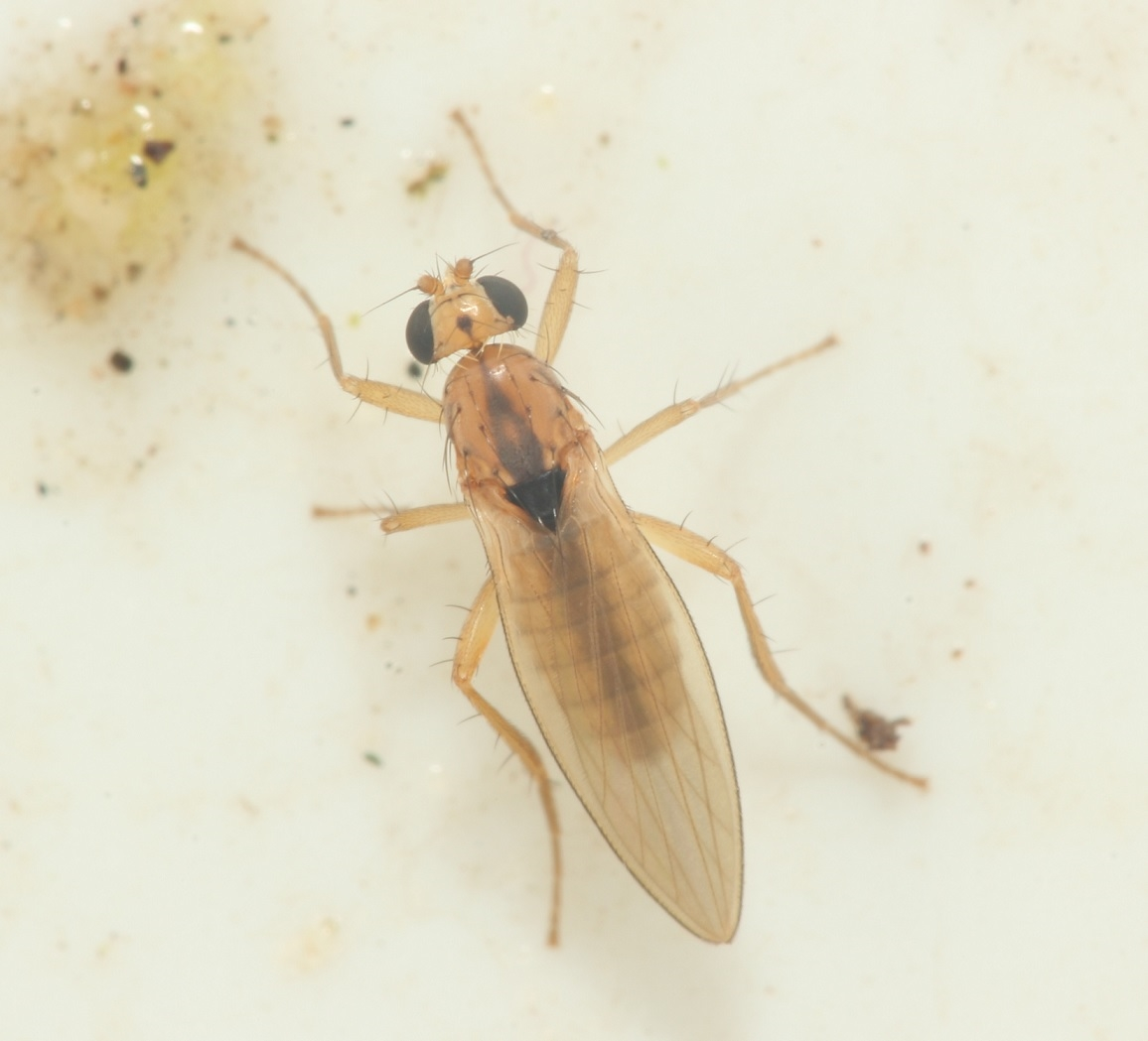 Lonchoptera scutellata