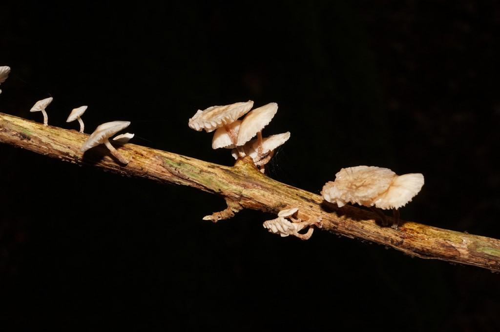 Foto/billede af Gren-Bruskhat (Marasmiellus ramealis)