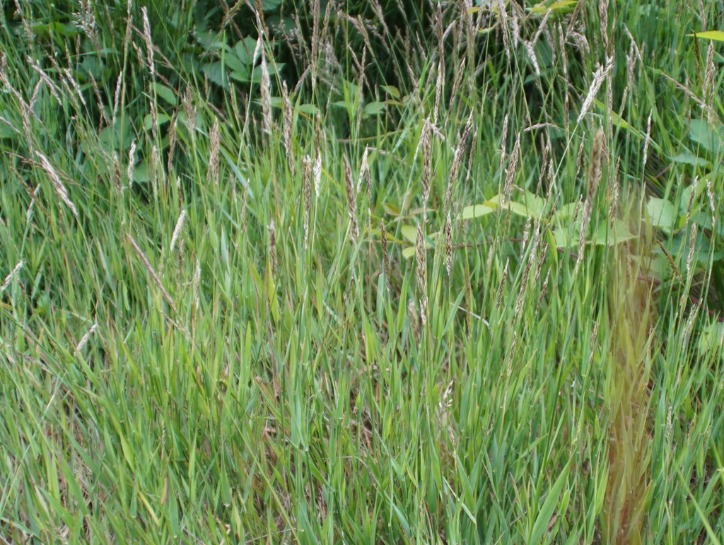 Krybende Hestegræs (Holcus mollis)