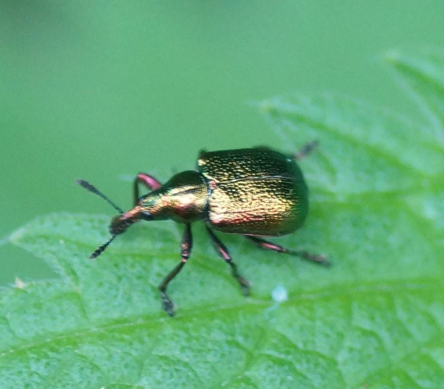 Foto/billede af Poppelbladruller (Byctiscus populi)