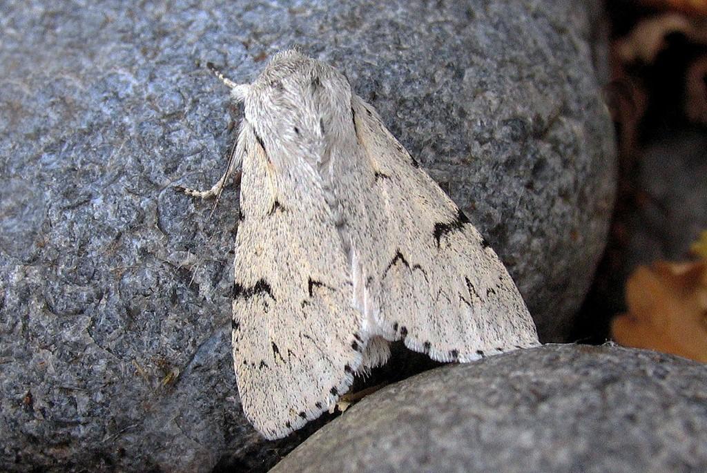 Foto/billede af Snehare (Acronicta leporina)