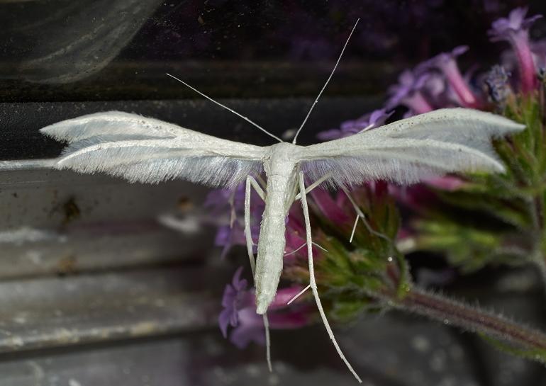 Foto/billede af Hvidt Fjermøl (Pterophorus pentadactyla)
