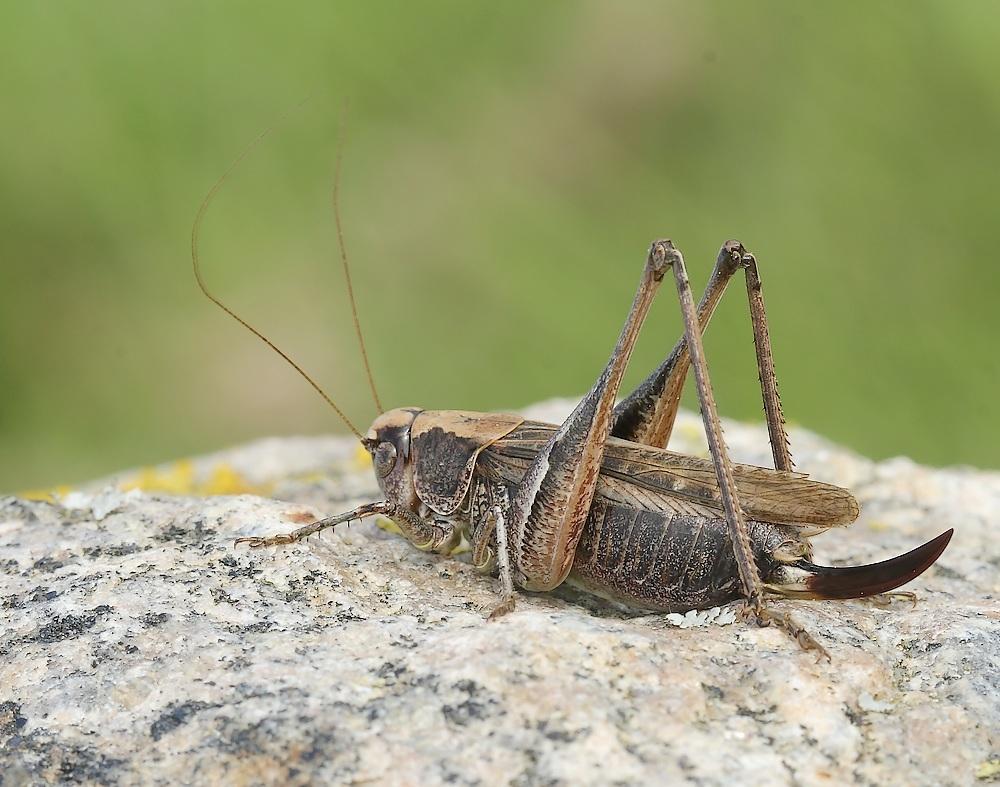 Foto/billede af Sandgræshoppe (Platycleis albopunctata)