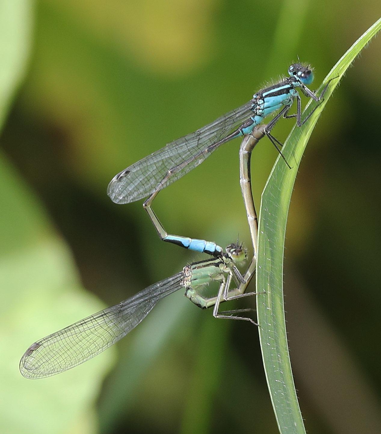 Foto/billede af Stor Farvevandnymfe (Ischnura elegans)